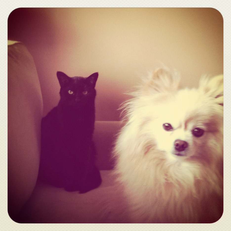 cat and pomeranian